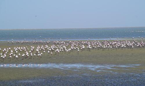 Flamingo, Botswana